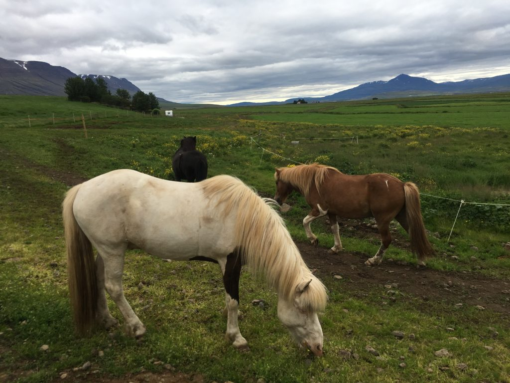 【冰島環島自駕環島攻略~第一次帶爸媽旅行就上手】Day6:Godafoss瀑布、Akureyri市區Strikid餐廳午餐、Rettarholt農場騎馬體驗、Hotel Laugarbakki飯店